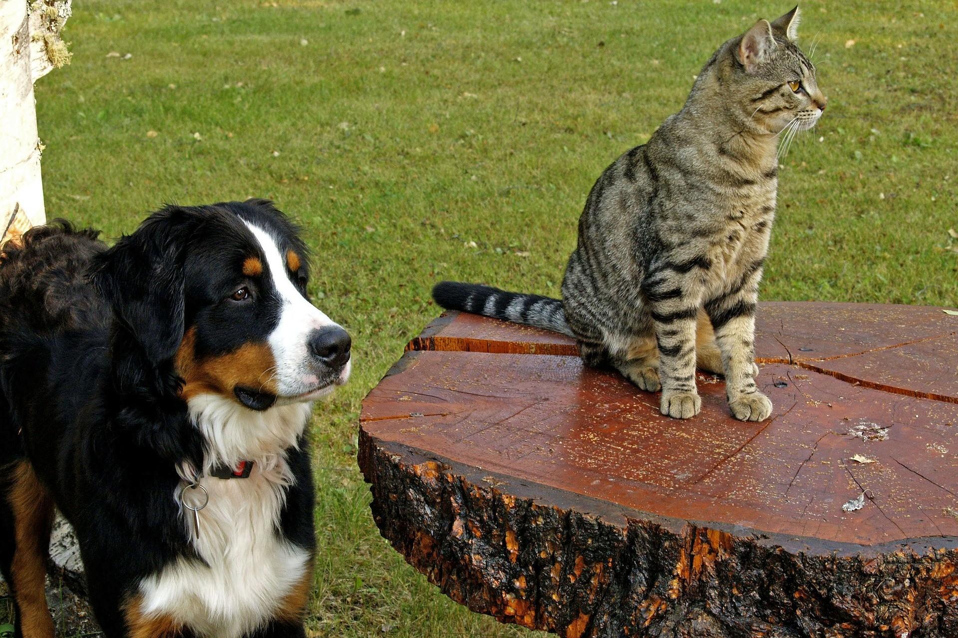 Un bouvier bernois et un chat peuvent-ils cohabiter ensemble?