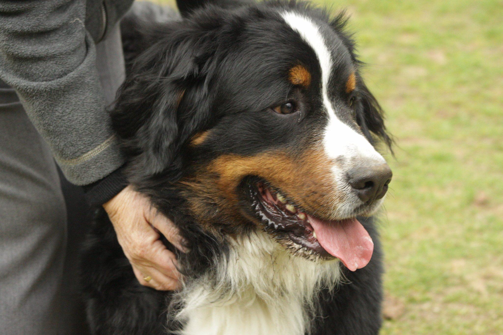 Le bouvier bernois: chien pour les séniors